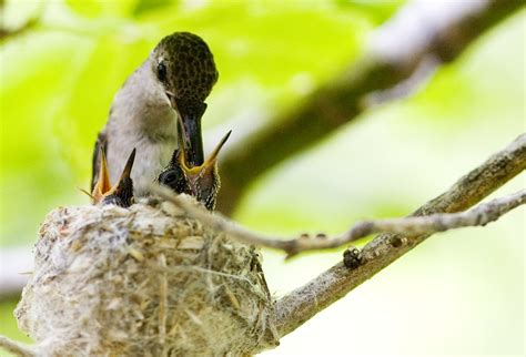 feeding baby hummingbirds by krnc on deviantart