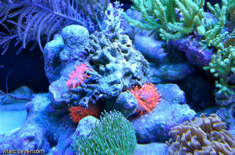5 11 Beast Yellow Angka Orange lfs amazing reefs aquariums orange calif blogs