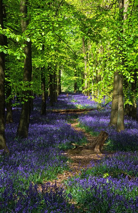 bluebell forest back to photostream