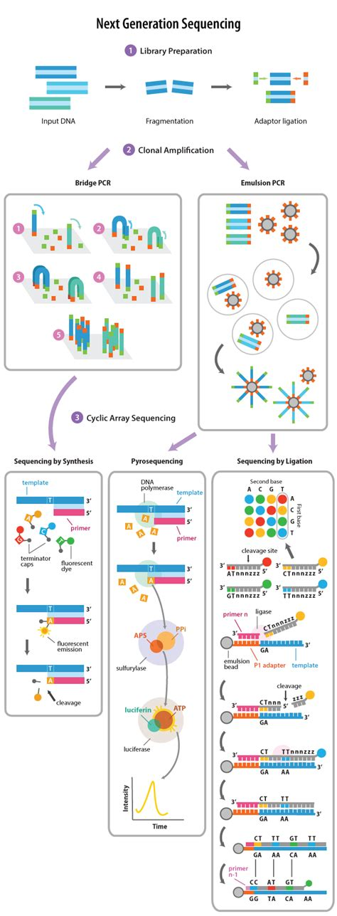 The Templates For Next Generation Sequencing Are Flash Card by Theory Of Pyrosequencing Technology Biogene