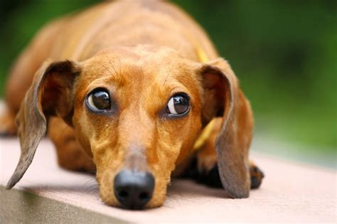 sausage dogs dachshund or sausage health and wellness considerations pets4homes