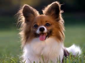 Best Small Home Dogs Papillon 15 Best Small Breeds For Indoor Pets