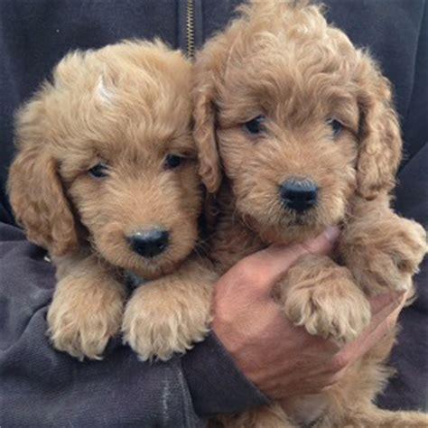 mini doodle ny mini golden doodles roly poly puppies