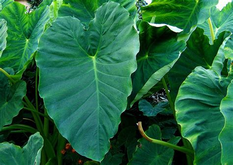 elephant ear toxic plant of the week the equinest