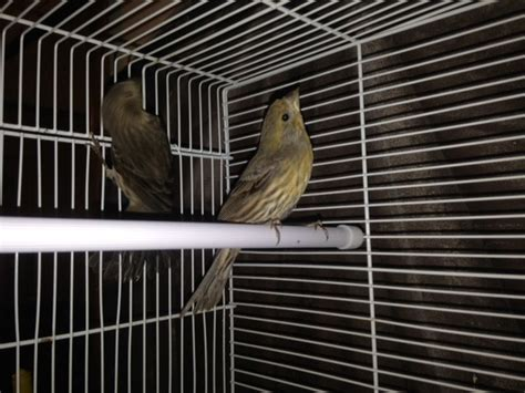 mexican house finch for sale mexican house finches pair luton bedfordshire pets4homes