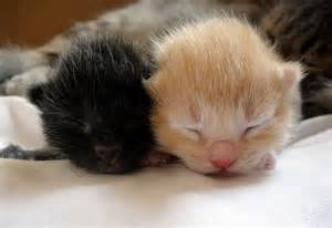 newborn kittens cute new born kittens sleeping newborn kittens pinterest