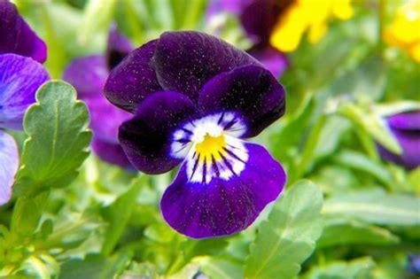 pansy colors colors set of 1035 pansy purple color