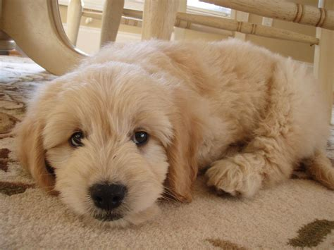 goldendoodle puppy how much food worst best food brands aussiedoodle and labradoodle