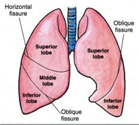 sections of the lungs ant301 thorax wall and lungs flashcards cram com