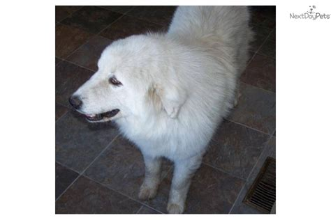 great pyrenees golden retriever mix for sale mixed other puppy for sale near northeast sd south dakota b33a4fdd 0351