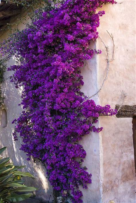 climbing plant purple flowers 17 best ideas about climbing flowers on