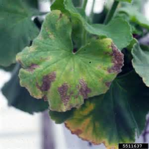 Plant Diseases Caused By Microbes - bacterial wilt