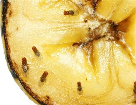 foods that destroy dht how to kill fruit flies get rid of fruit flies