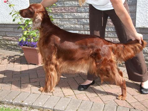 Setter Dogs For Sale | glennlokhen irish setter puppies for sale dumfries