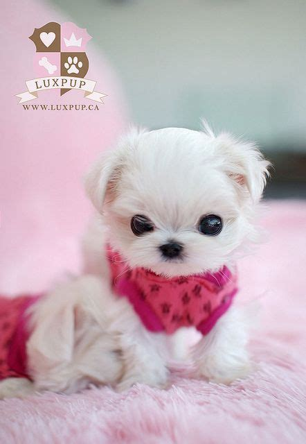 teacup maltese puppy 25 best ideas about teacup maltese puppies on baby maltese teacup