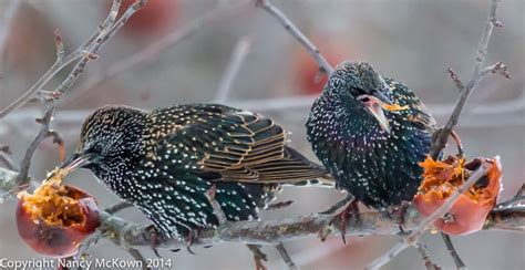 photographing european starlings welcome to