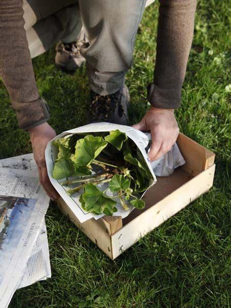 Pelargonien Pflege by Die Besten 17 Ideen Zu Geranien Auf Geranien