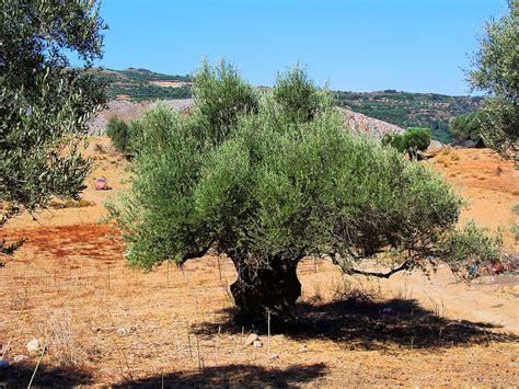 olivenbaum im garten olivenbaum im topf tipps f 252 r standort und pflege