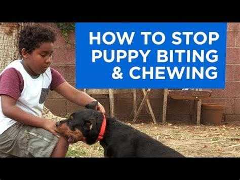 best way to stop puppy biting cesar millan how to your puppy to stop jumping doovi