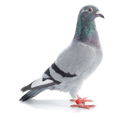 homing pigeons related keywords homing pigeons