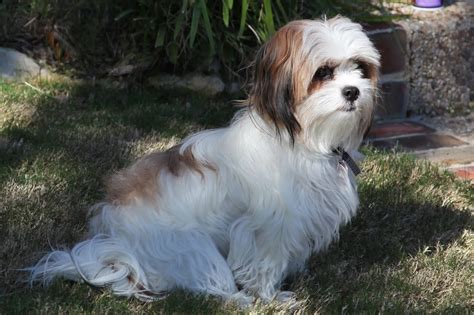 shih tzu mix with maltese shih puppies on week mal shi maltese shih tzu mix puppies courtesy breeds