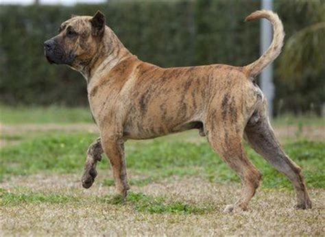 presa canario mix with rottweiler top presa canario mastiff images for tattoos