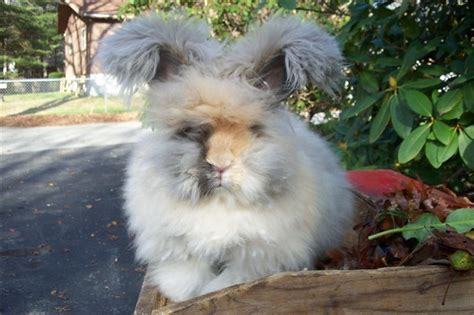 color my world tupelo ms 16 angora bunny rabbits for sale in tupelo ms