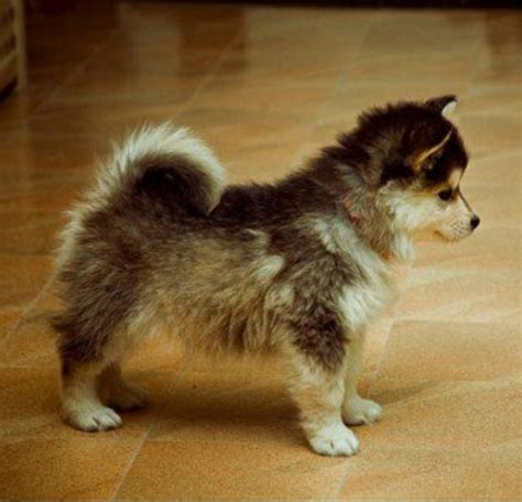 pomeranian mixed husky black and white boxer mix puppies black free engine image for user manual