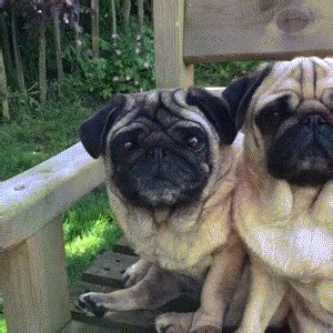 pugs gif pugs gif find on giphy