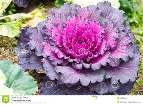 decorative lettuce plants purple lettuce plant stock photo image of organic spring
