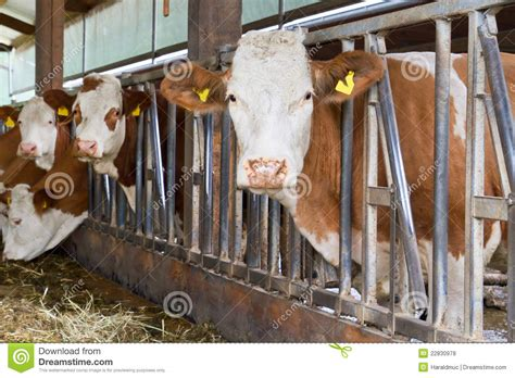 cows in a cow shed stock photo image of snout butcher