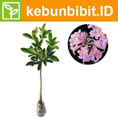 jual kebun bibit tanaman tabebuia rosea 40cm di lapak