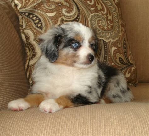 australian shepherd blue merle puppies blue horizon australian shepherds
