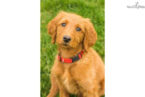 trained doodle puppies for sale professionally trained goldendoodle puppy