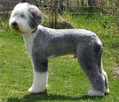 old fashioned dog grooming pictures for sale girls loving this huge fluffy sheepadoodle aww