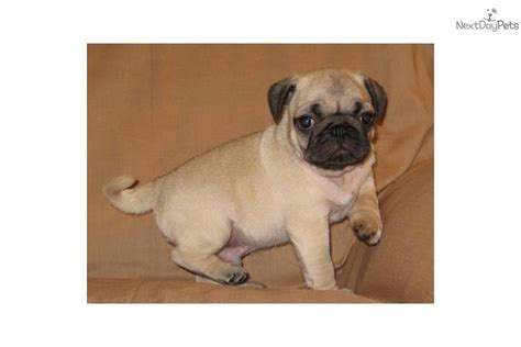 akc pugs for sale akc pug quot odie quot pug puppy for sale near southeast missouri missouri d19f07a0 c471
