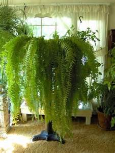 low light hanging plants care for indoor ferns horticulture talk