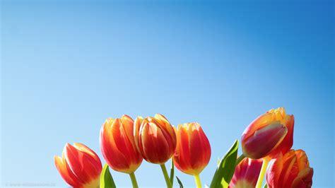 imagenes gratis en pixabay tulpenstrau 223 vor blauem himmel rechts medienarche