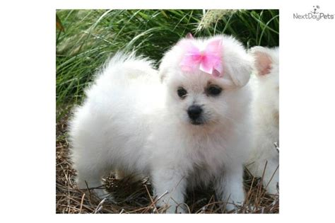 Less Shedding Dogs by 34 Best Images About Pomapoo Cuteness On Poodles Sporty And Pets For Sale