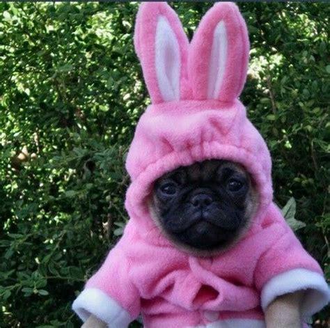 pink pug pink bunny pug pink