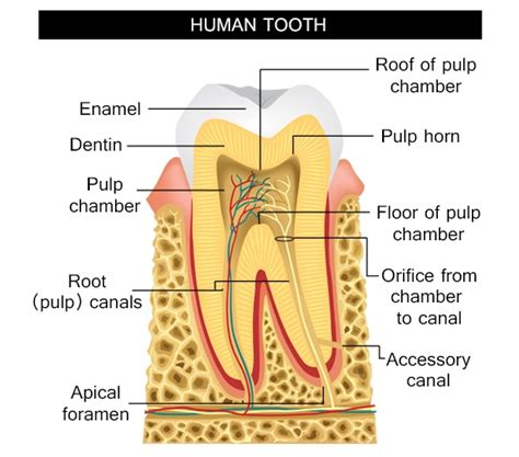 diagram of a tooth to label information about the human tooth anatomy with labeled