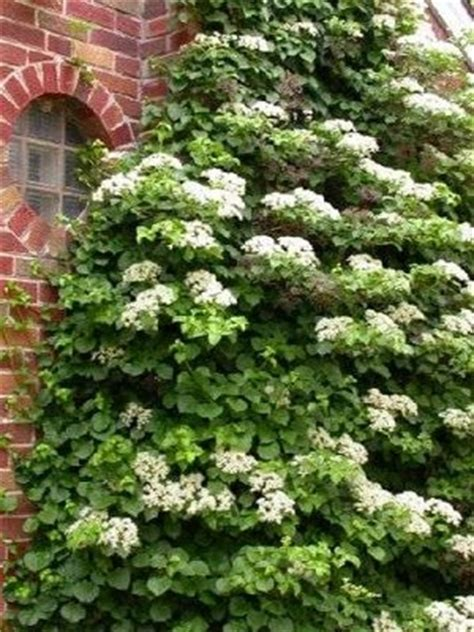 shade loving climbing plants climbing vines arrowhead enterprises
