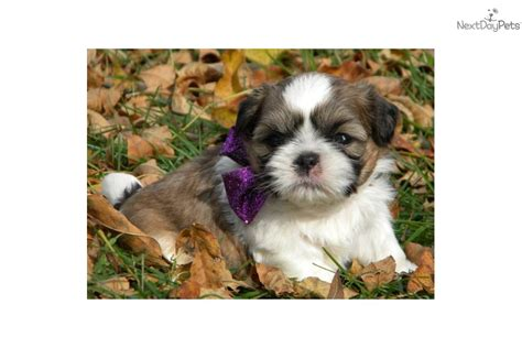 shih tzu puppies for sale in ky shih tzu for sale for 400 near bowling green kentucky 0303b81b 04a1