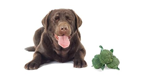 dogs eat broccoli can dogs eat broccoli the labrador site