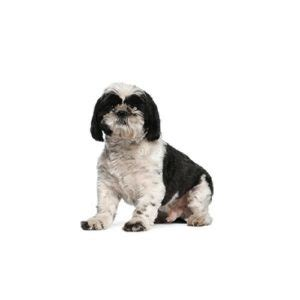 shih tzu of war shih tzu puppies for sale michigan petland novi