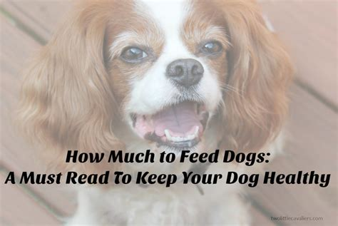 how much to feed a how much to feed dogs a must read to keep your healthy two cavaliers