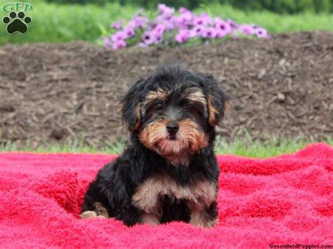 yorkie poos for sale in pa 1000 images about puppies for sale on