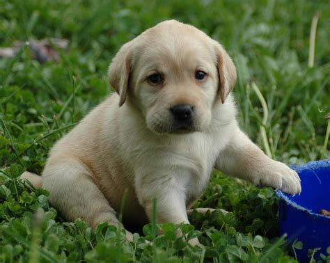 puppy yellow lab puppy lab hd wallpaper free images at clker vector