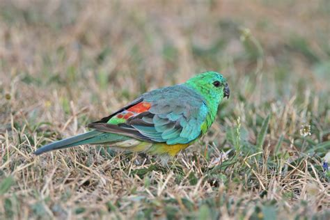 birds for sale san diego male red rump parakeet papagalul cantator