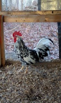 Backyard Chickens Atlanta Melora The Atlanta Backyard Poultry Meetup